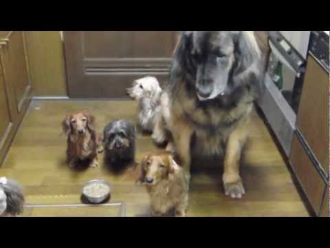 Usual Breakfast time. ver2. Leonberger in Japan.