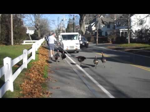 """Turkeys Attack Falmouth mailman """"Every day."""""""