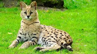 Не для БЕДНЫХ Бенгальский кот.Мейн кун.Сервал