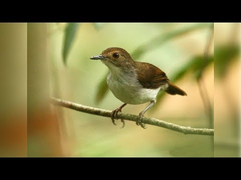 Download Suara Pelanduk Betina Ngerol Liar Bayat Klaten Video dan ... 4971f5b9e9