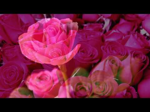 Pink Rose flower thumbnail