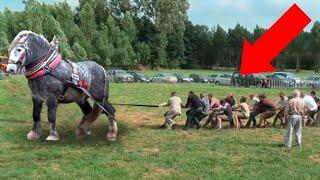 Посмотрите, на Что Способна Самая Мощная Лошадь в Мире