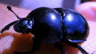 Mite-infested Dung Beetle of Hungary