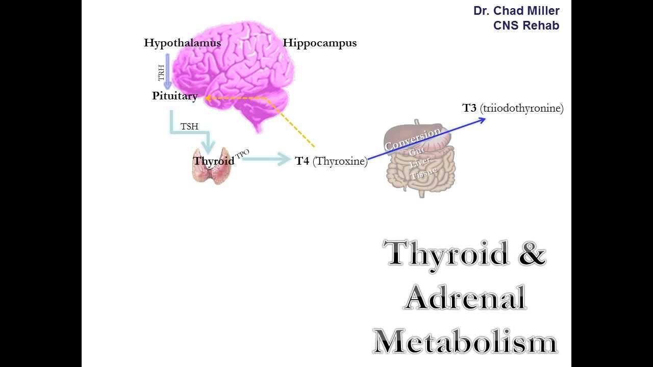 Basic Thyroid Anatomy & Physiology Primer - YouTube