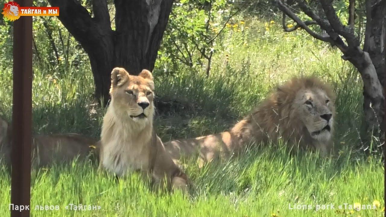Утро начинается с привычной картины :) Львиный сезон 2020 Тайган. life of lions Taigan.