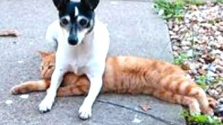 Best Of Funny Dogs Sitting On Cats Compilation || NEW HD