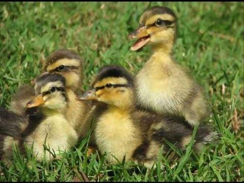 Mallard Ducklings - YouTube