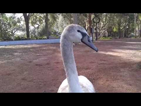 Disney Land  - Swan Says Go Vegetarian BIRD is the Word (Orlando FL Walt Disney World