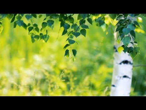 Футаж — Молодая березка. Под ветками березы в лесу. Футажи (footage) красивая природа [FullHD]