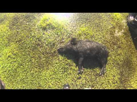 Hog Hunt 2016 Okeechobee Florida