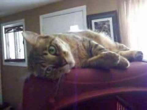 Stubborn Pixie Bob Cat