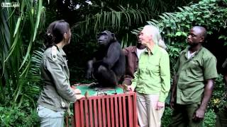 The Story of Wounda the Chimpanzee and Her Hug to Jane Goodall During her Liberation    HD
