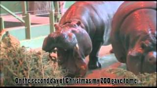 Day 1 of the 12 Days of Christmas, Zoo Style... A Happy Hippo in a Cool Pool