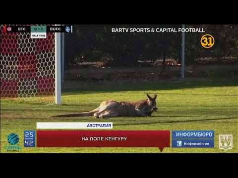 Выбежавший на поле кенгуру прервал футбольный матч