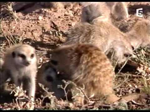 Vidéo les suricates - Bernard Allouf                   ( VOIX  sur Image )
