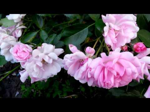 Сорт розы Чаплинз пинкс