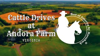 Cattle Drives at Andora Farm (2019)