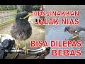 Teknik Jitu Menjinakan Jalak Burung Jalak Nias Kebo Suren Bisa Dilepas Bebas  Mp3 - Mp4 Download