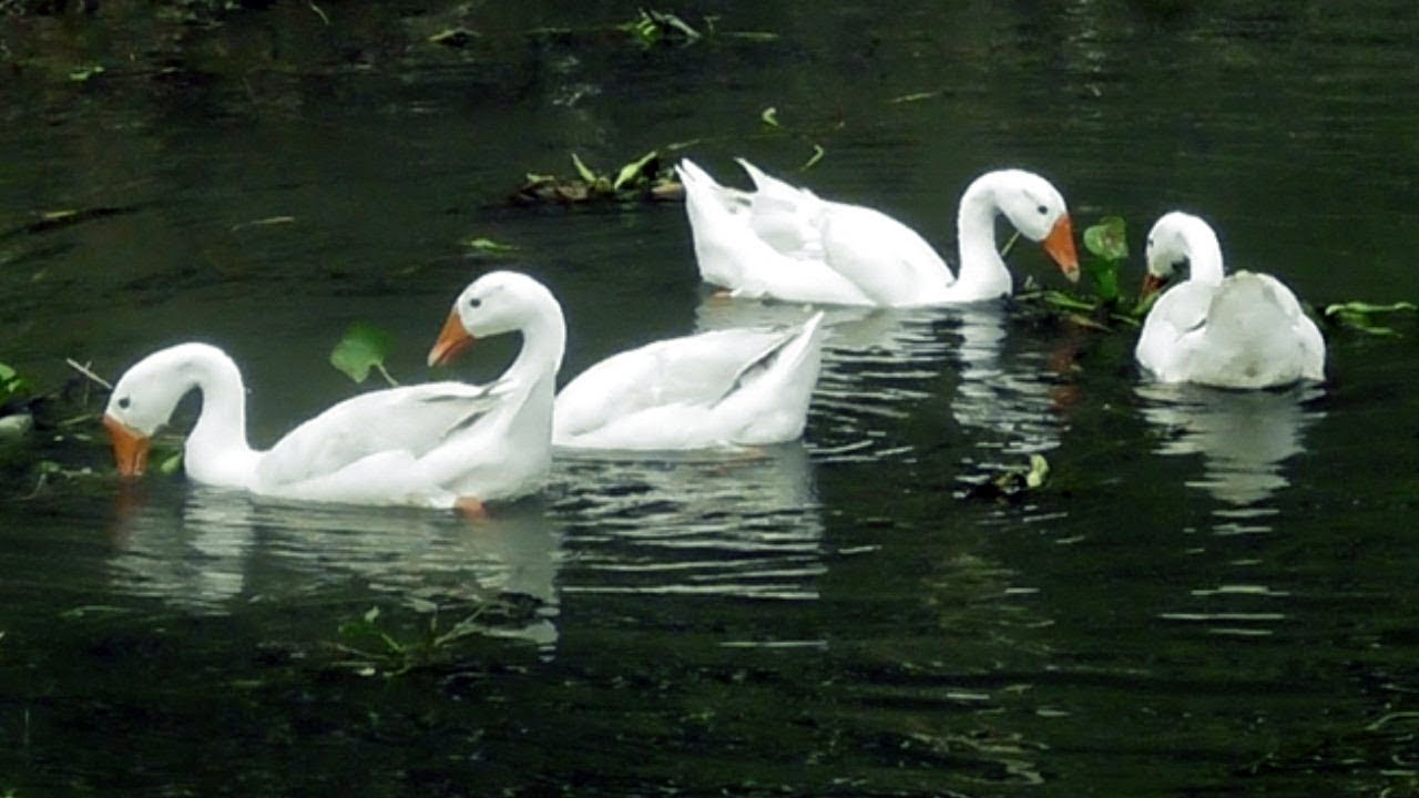 Beautiful Indian Swan রাজহাঁস सुंदर हंस Youtube