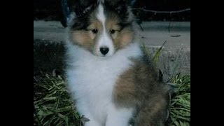 Shetland Sheepdog, Puppies For Sale, In, Hampton, Virginia, West, Va, Norfolk, Chesapeake, 19breeder