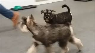 щенок цвергшнауцера  Алекс в 4,5 месяца