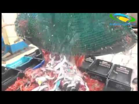 Moroccan Fishing Vessels plundering the fish stocks off the Western Sahara Coasts.