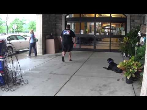 "Black Lab ""Jake:"" Showing Off His Amazing Obedience At The Barber Shop and More!"