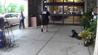 """Black Lab """"jake:"""" Showing Off His Amazing Obedience At The Barber Shop And More!"""
