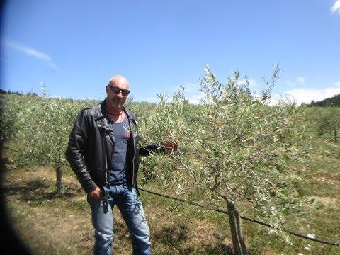 Olive Farming On Salt Spring Island, Canada