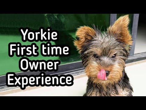 Are Yorkie Good for First Time Owner? (Personal Experience)