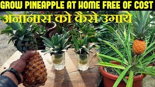 How To Grow Pineapples At Home | अनानास को कैसे उगाये (With English Subtitles)