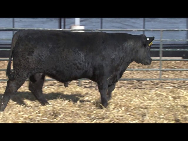 Schiefelbein Angus Farms Lot 221