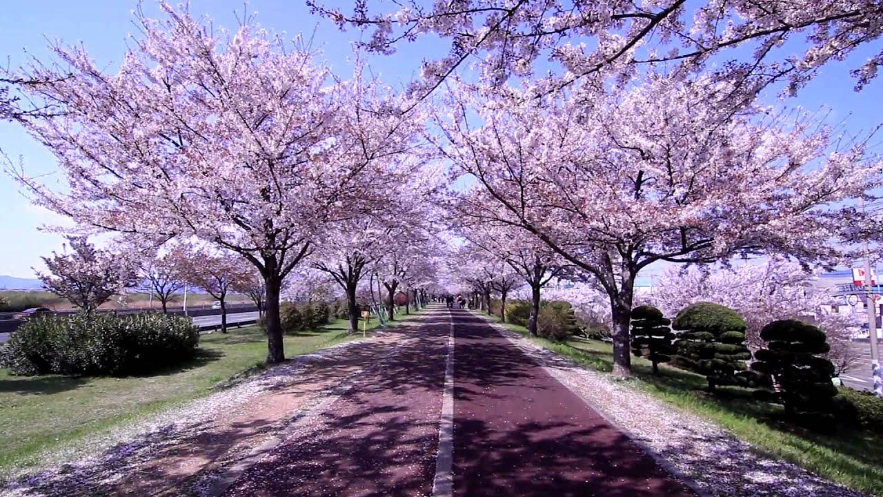 Traditional Decor Un Minuto Paseando Bajo Las Flores De Cerezo En Corea