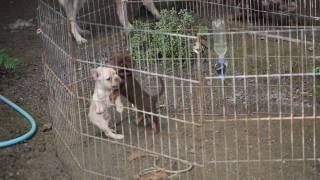 犬フレンチブルドッグ(若大将)ダックスフンド(ピエPie) http://www....
