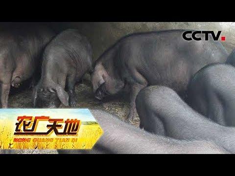 《农广天地》 20180611 莆田猪CCTV农业
