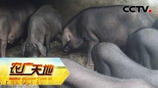 《农广天地》 20180611 莆田猪 | Cctv农业