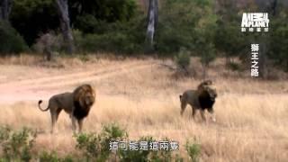 動物星球頻道 《獅王之路》3分鐘搶先看之三 –獅群內鬨