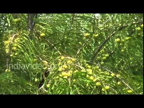 Gooseberry trees, Chhota Udaipur