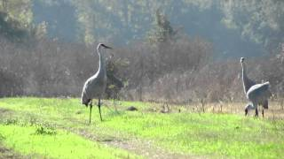 Sandhill Cranes in the Sacramento Valley