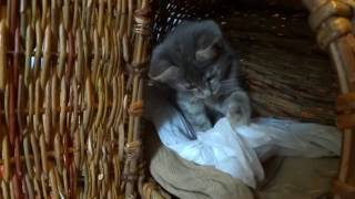 Видео о серо-голубой кошечке