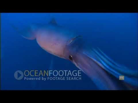 ocean-footage:-huge-squid-flash-and-attack