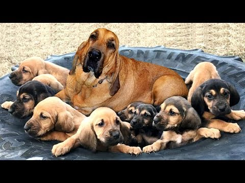 Bloodhounds dog breed giving birth- Cute puppies singging for food