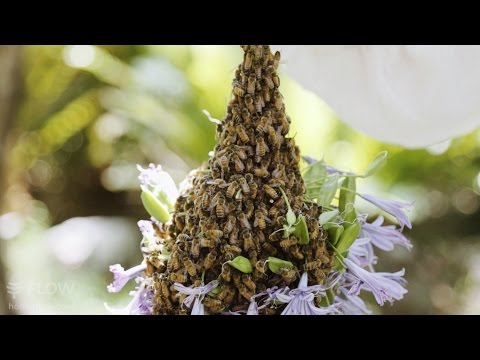 Beginner Beekeeping Ep 5 - Catching a swarm