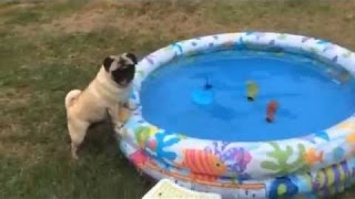 Pug Plays Fetch In A Paddling Pool!