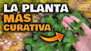 ESTO es la MEDICINA NATURAL más PODEROSA | Plantas Curativas | Infusión de Orégano para adelgazar