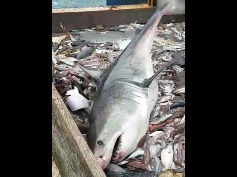 Fishermen Catch Great White Shark And Put It Back In The Water