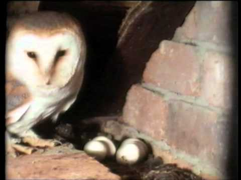 The Private Life of the Barn Owl