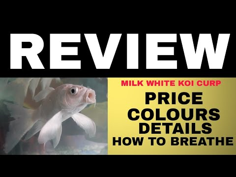 MILKY WHITE KOI CURP/HOW TO BREATHE/IS IT GOOD FISH FOR YOUR AQUARIUM?IN HINDI