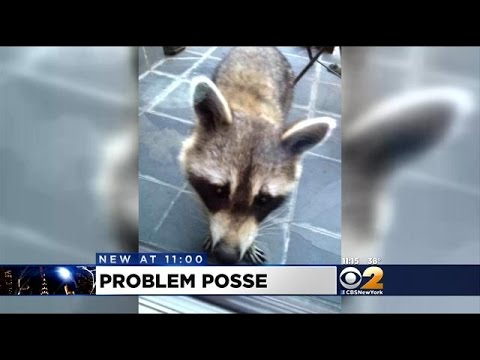 Raccoons Run Rampant In West Harlem