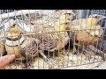 سوق الغزل فيديو عن طائر القطا انواع مختلفة من الطيور واشكال جميلة عن طائر القطا في الاسواق